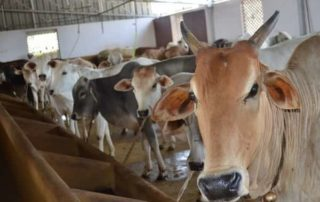 Veterinary Camps Protection Cows Gosala